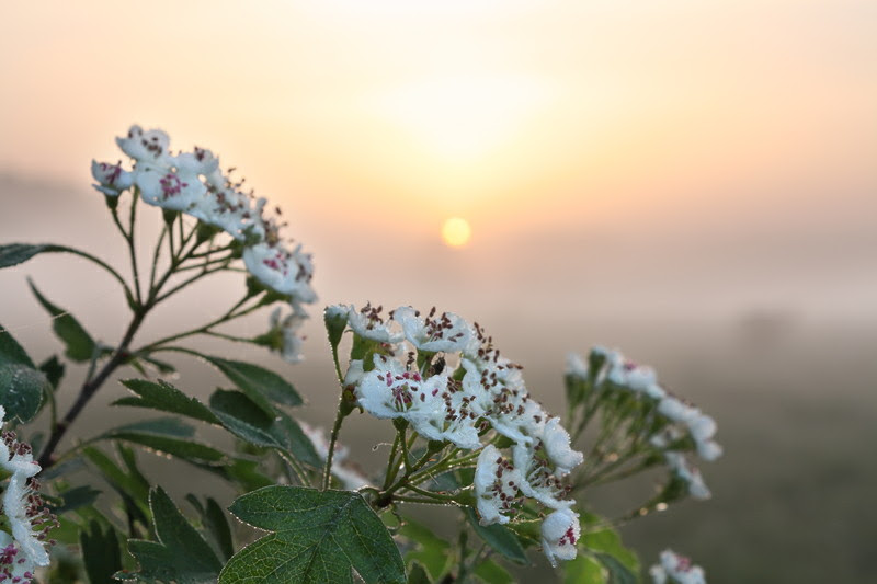hawthorn flower used by medical herbalist